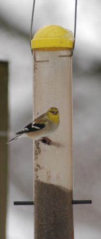 finch-at-feeder-2
